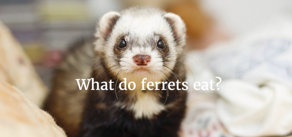 What Kind Of Food Can Ferrets Eat