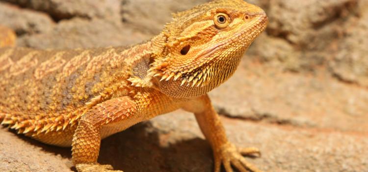 Bearded Dragon brumation - ExoticDirect