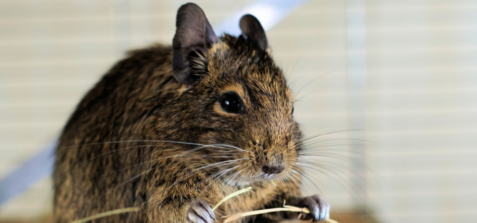 Degu food advice-what should and shouldn't your degu be