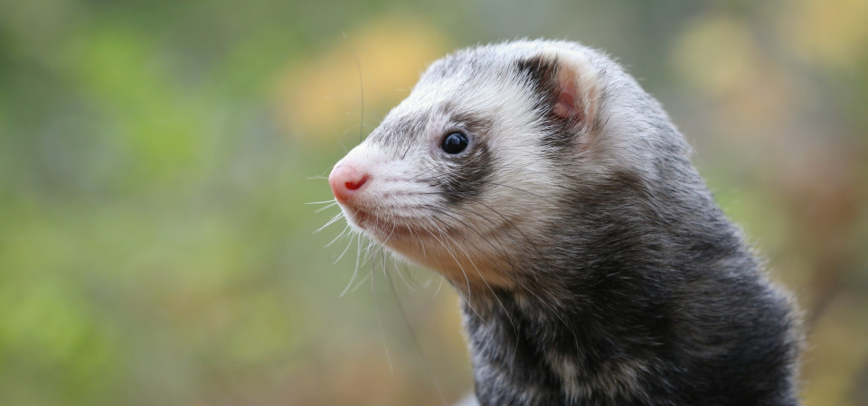 What Do Ferrets Eat The Best Food For Your Ferret And The Worst