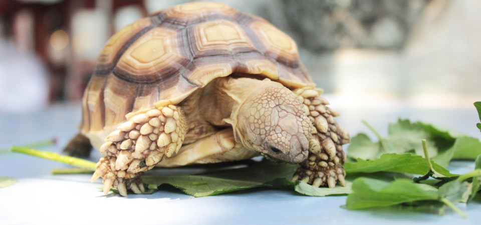 Tortoise food and diet - calcium, vitamin D3 and not eating