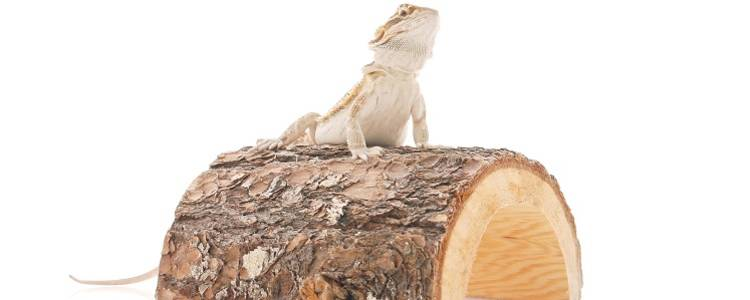 Bearded Dragon with a hide
