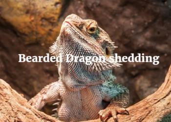 Basic Care Bearded Dragon