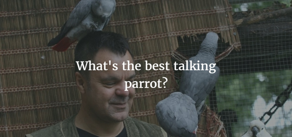 How and why do parrots talk? Best talking parrot and