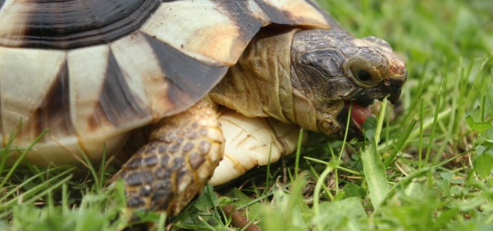 Hermann Tortoise Food Uk