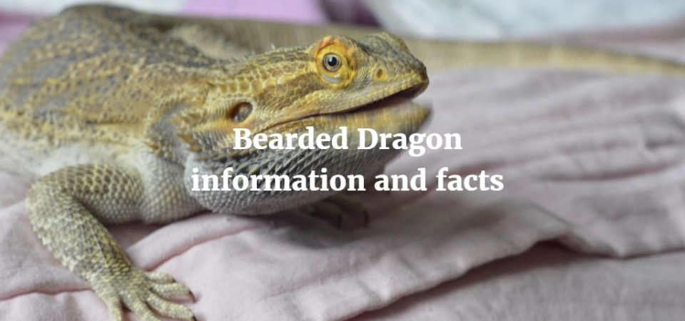 Bearded Dragon Respiratory Infection