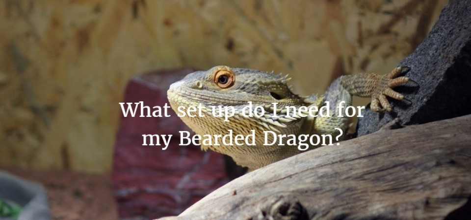 What Set Up Do I Need For My Bearded Dragon Exoticdirect