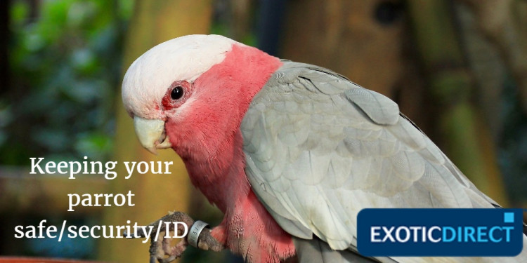 Keeping your parrot safe - security and identification - ExoticDirect
