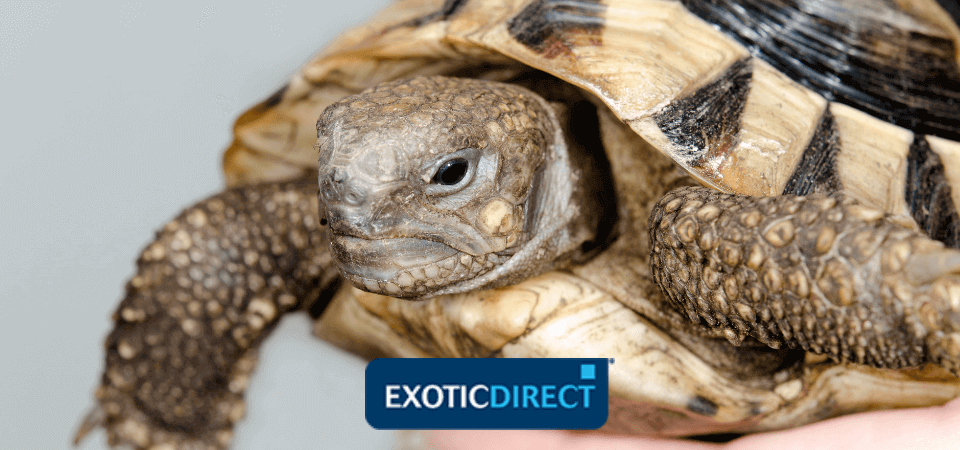How To Care For A Tortoise After Hibernation Exoticdirect