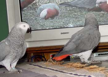 Can African Greys Eat Eclectus Food