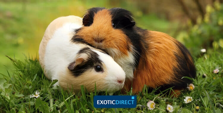 Guinea pig noises and their meanings - ExoticDirect