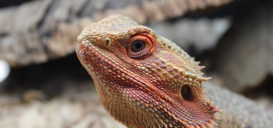 Cool Pet Care Safe Fruits For Bearded Dragons