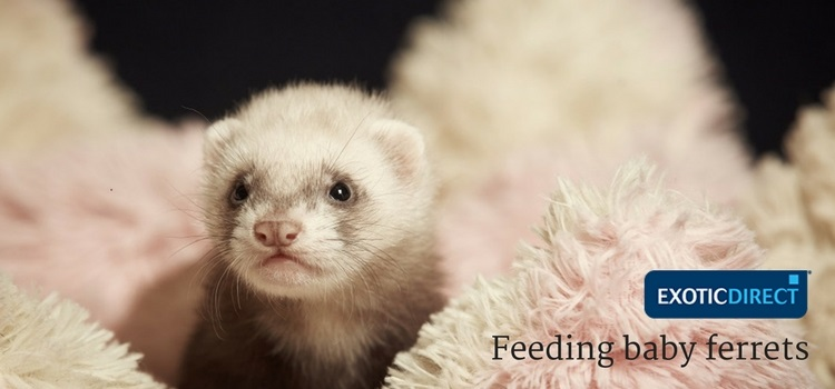 a_baby_ferret_in_a_blanket