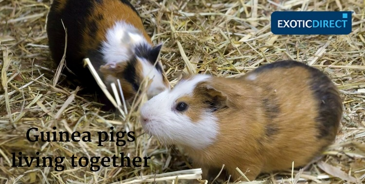 should guinea pigs live together?