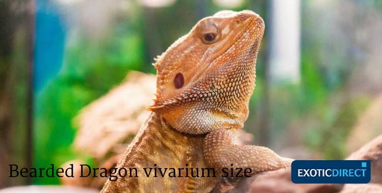 a bearded dragon inside a vivarium