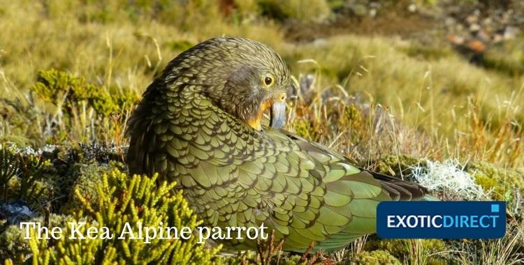 A Kea Alpine parrot