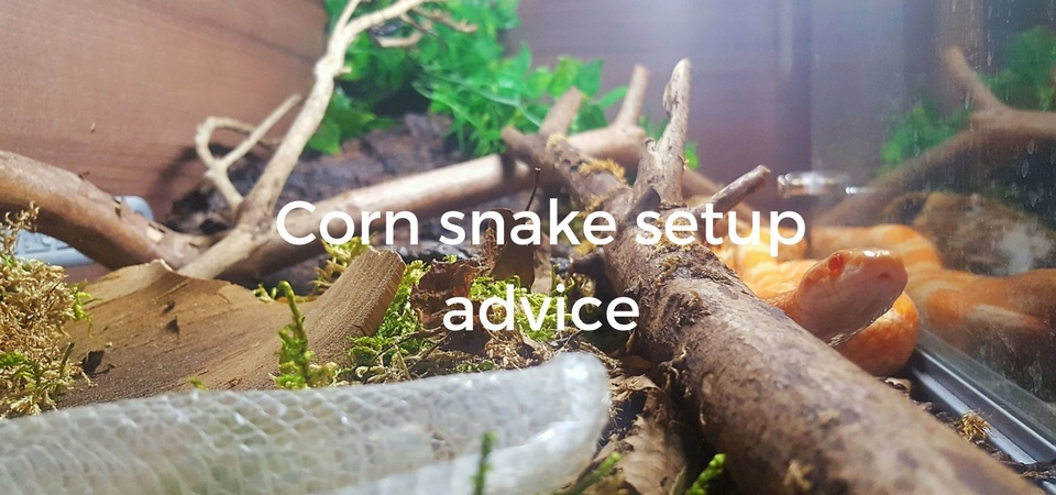 Corn Snake Setup Vivarium Heating Uv And Substrate Advice