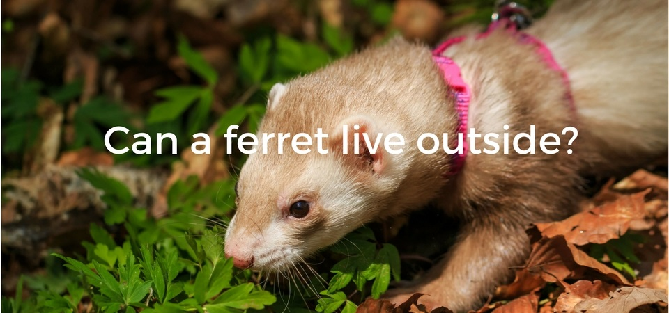 0dc893e1 Can a ferret live outside? Ideal outside temperature, hot and cold weather  and housing