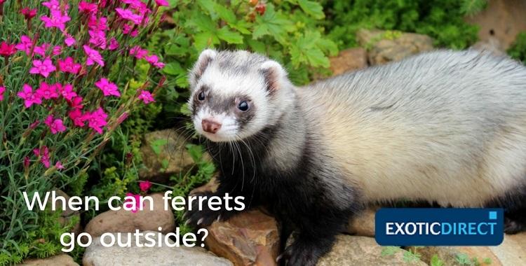 ferret in a garden