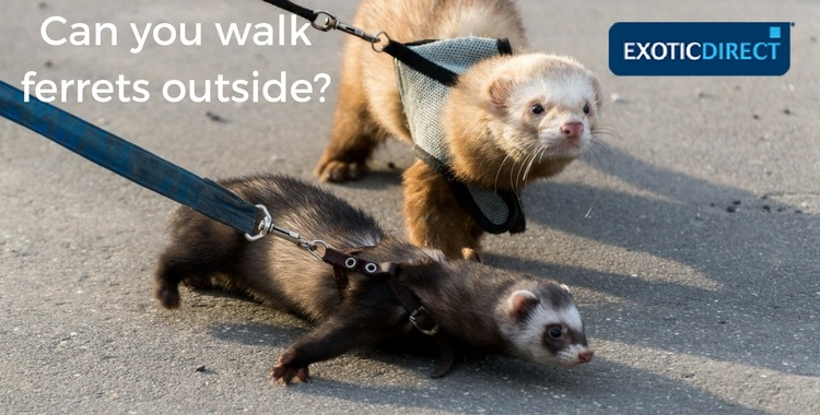 two ferrets going for a walk wearing leads