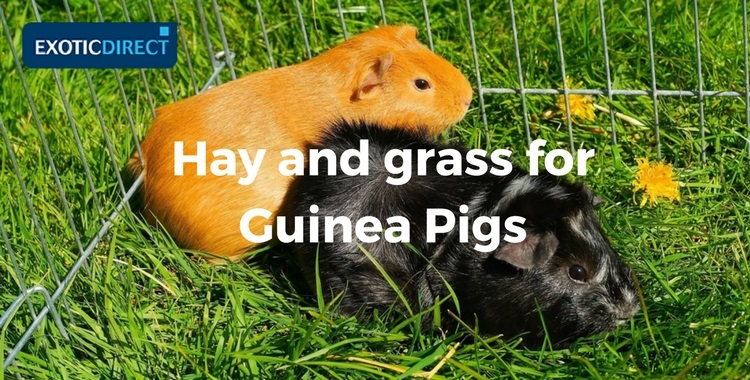 guinea pigs on the grass