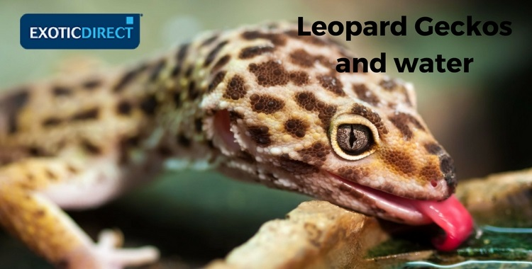 leopard gecko drinking water