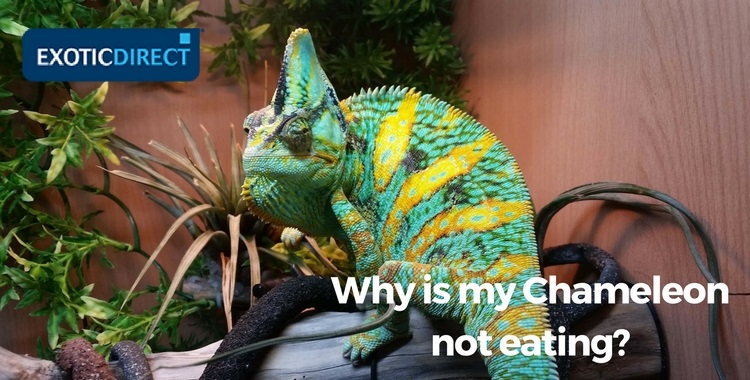 chameleon looking at owner