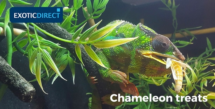 chameleon eating an insect