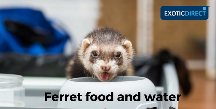 ferret eating from a bowl