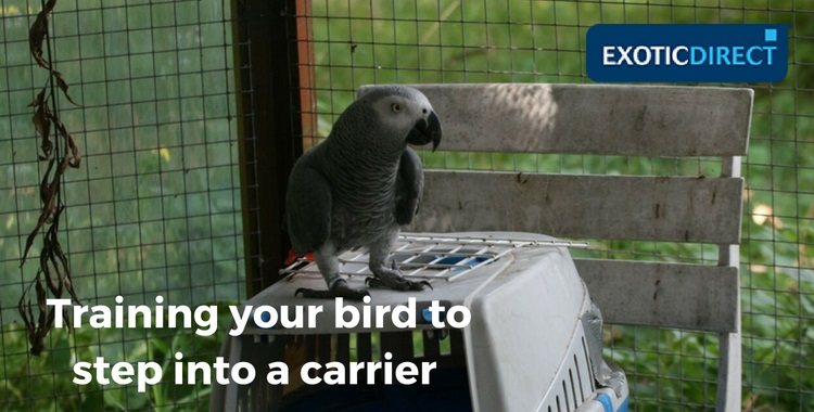 african grey stood on a carrier