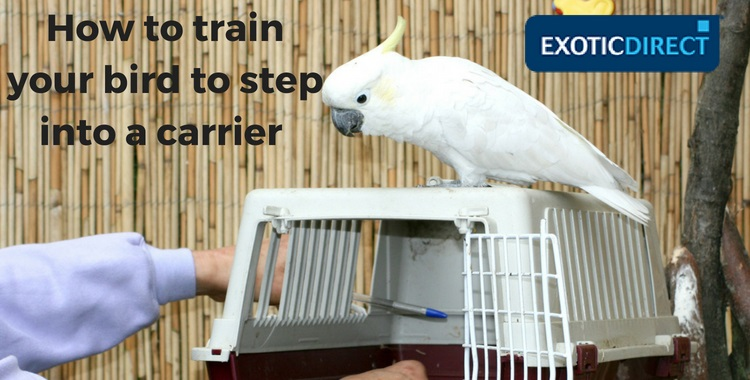 A cockatoo being trained to step into a carrier