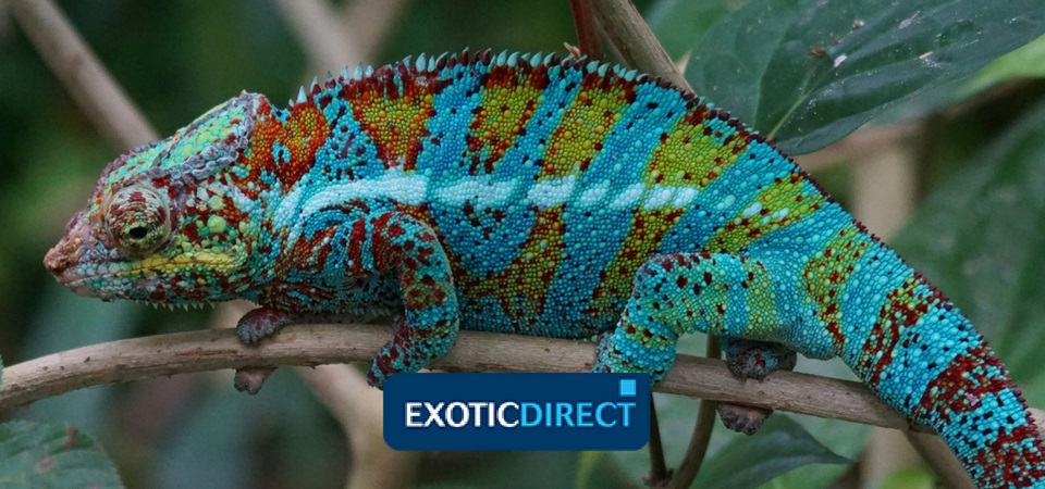 10 Fun Facts About Chameleons Exoticdirect