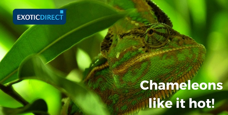 chameleon in the jungle