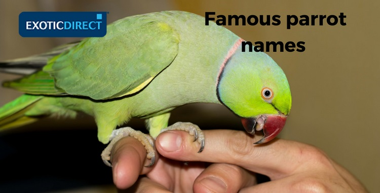 Alexandrine parrot perching on a hand