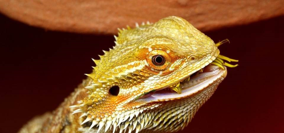 Best Live Food For Baby Bearded Dragon