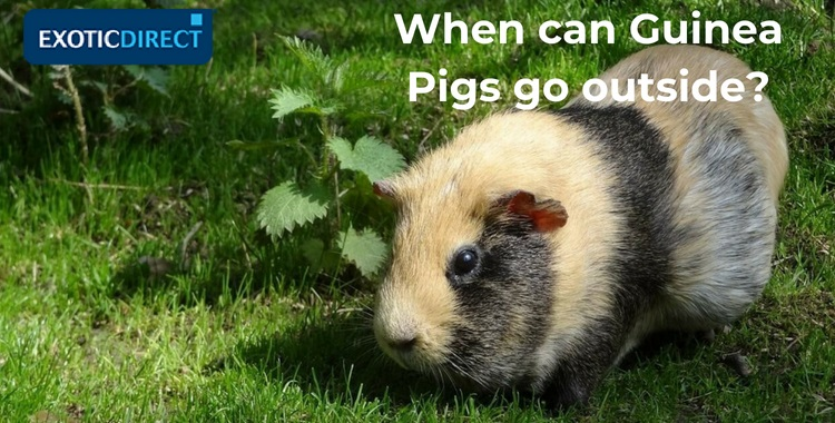 When can Guinea Pigs go outside? Temperature, security and