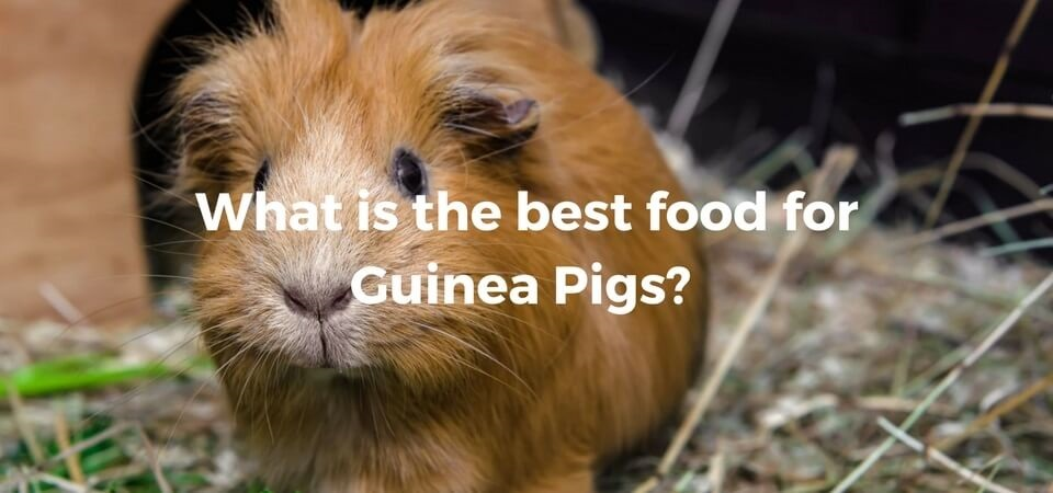 Excellent What Can Guinea Pigs Eat Exoticdirect Pdpeps Interior Chair Design Pdpepsorg