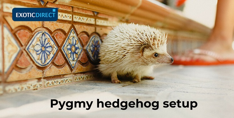 pygmy hedgehog walking on the kitchen floor