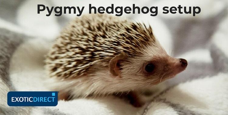 pygmy hedgehog setup