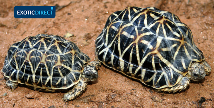 Which tortoise should you get? - ExoticDirect