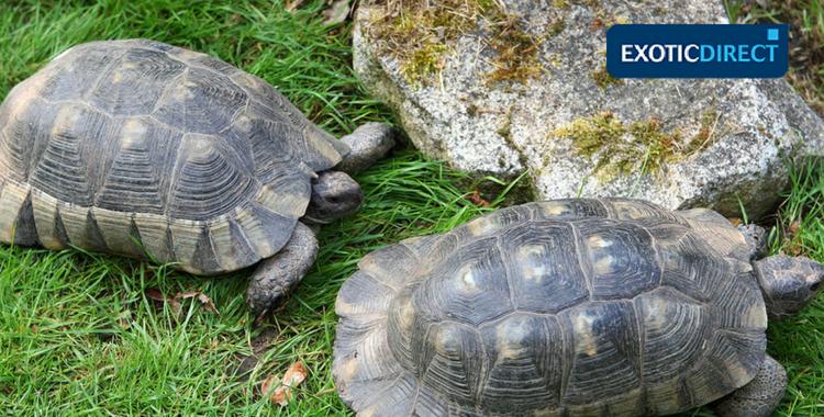 male and female marginated tortoises