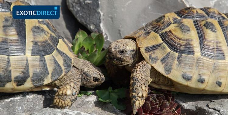 Tortoise Behaviour Exoticdirect