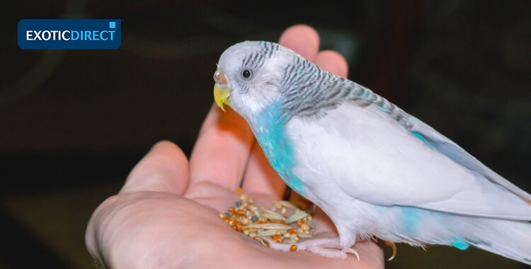 budgie sat on owners hand