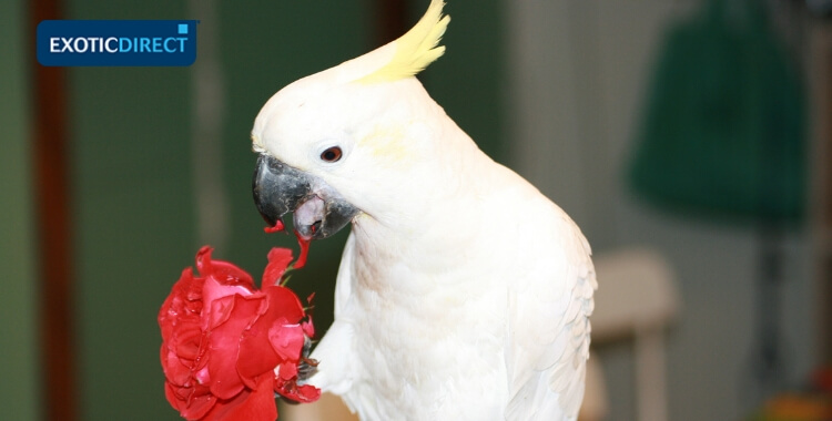 cockatoo eating a flower