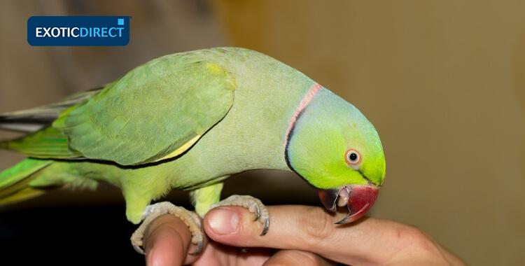alexandrine parrot on someones finger