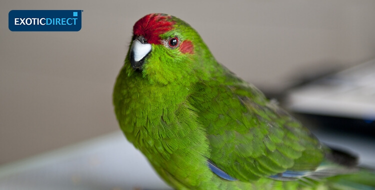 Best Parrots To Have As Pets Exoticdirect