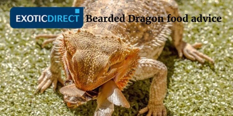 Bearded Dragon food advice