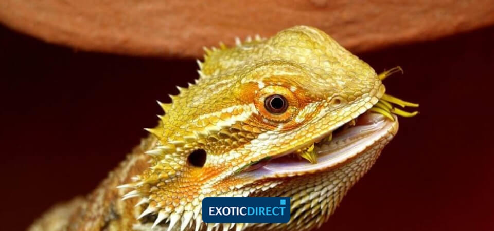 What do Bearded Dragons eat? The best food for your Beardie's diet