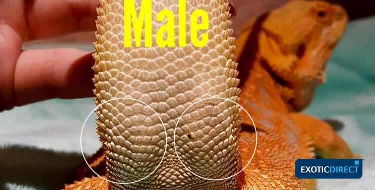 hemipenal bulges of a male Bearded Dragon