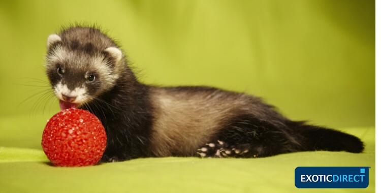 ferret playing with toy ball